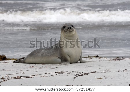Young southern elephant seal (Mirounga leonina) resting on the beach on Seal Lion Island, Falkland Islands