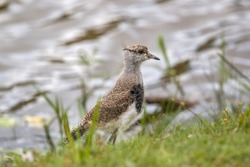 Young Southern Lapwing (Vanellus chilensis) on the Grass on Lakeshore (Wild Southern Lapwing)