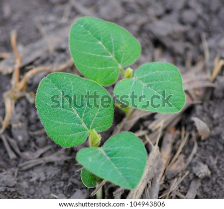 Young Soy bean plant in field early spring morning shallow depth