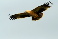 Young Spanish imperial eagle flying, birds, eagles