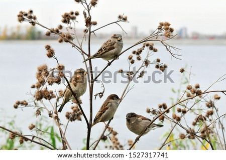 Young sparrows are sitting on the dry branches of a large burdock. The house sparrow (Passer domesticus) is a bird of the sparrow family Passeridae. #1527317741