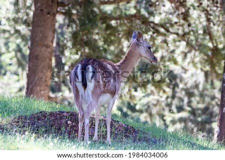 Young specimen of fallow or European Deer in the Sierra de Cazorla. The scientific name is Dama dama, sometimes called Cervus dama, it is a species of deer native to the Mediterranean region. Foto stock ©
