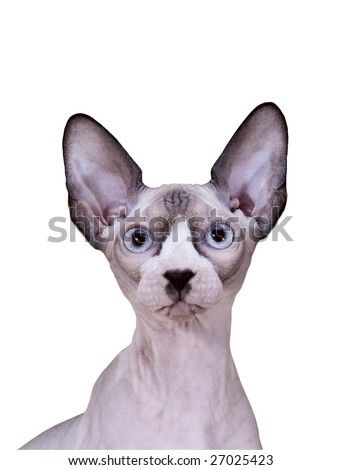 Young Sphinx cat isolated