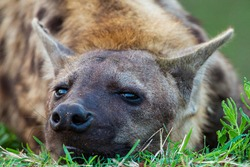 Young Spotted hyena resting at the entrance to the den in the Kruger Park, South Africa