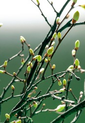 Young Spring green buds on the tree branches. Springtime seasonal macro close up