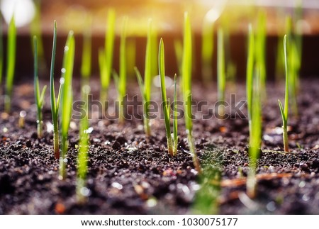 Young spring shoots of greenery on the plantation