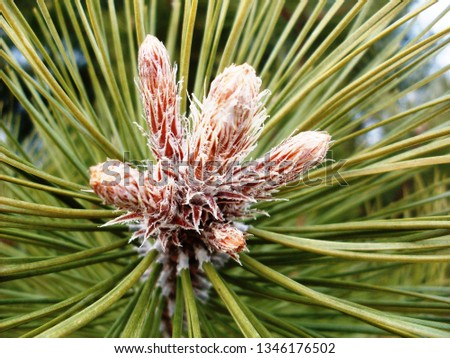 Young sprout of fir-tree. A fir-tree grows even in winter. Sprouts ate very fragrant and tender. #1346176502
