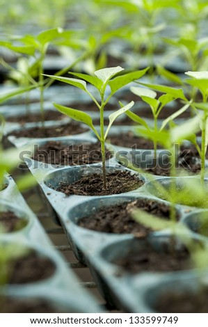 Young sprouts in nursery tray wait for planting