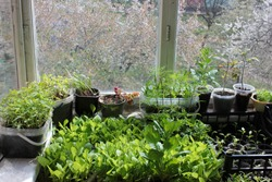 Young sprouts of tomatoes, peppers, asters, cosmea in the balcony garden. Growing organic vegetable and flower seedlings at home. Greenhouse plant cultivation.