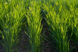 Young sprouts of winter wheat. Young green sprouts line. Fertile agricultural land. Symmetrical lines of shoots of grain crops. field of young wheat, barley, rye. High quality photo
