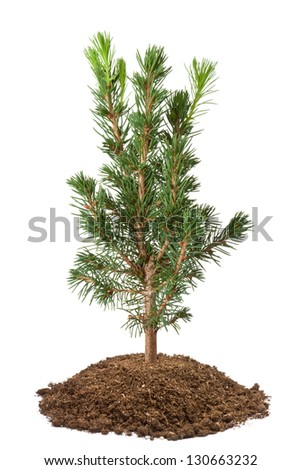Young spruce sapling. Isolated on a white.