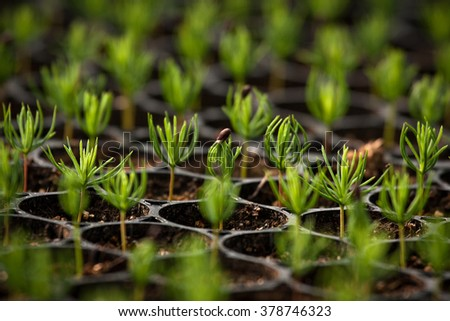 young spruce seedlings