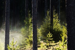 Young spruce trees between pines on a foggy morning in Estonian forest, Northern Europe.