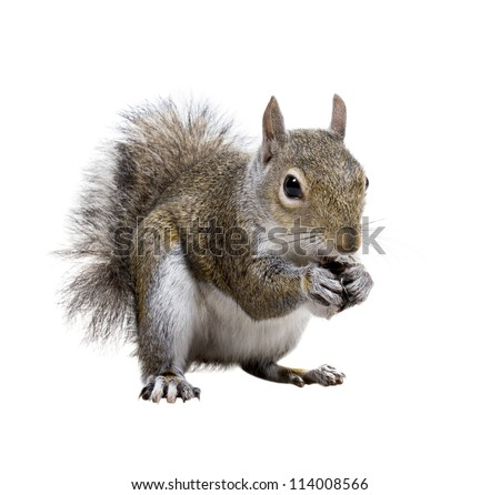 Young squirrel with shells of sunflower seeds on a white background - stock photo