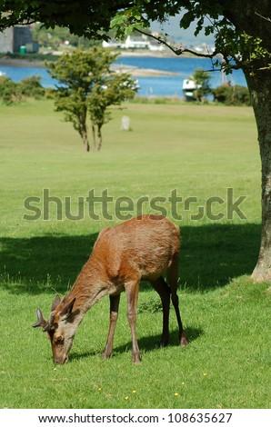 Young stag feeding on Lochranza golf course on the Isle of Arran, Scotland