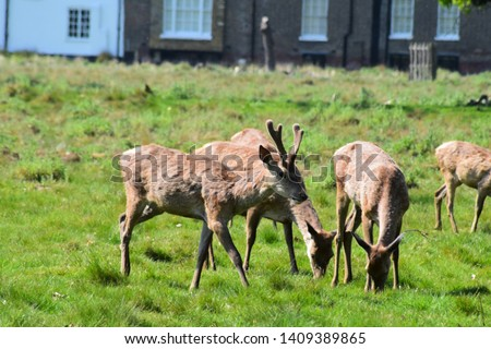 Young Stags and Bucks in Bushy Park UK. Deer grazing in london parks. #1409389865