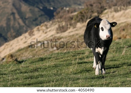 Young steer (cattle beast) grazing in the high country of New Zealand,