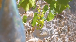 young still immature grape cluster on the vine with rocky soil