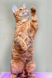 young striped ginger cat standing on its hind legs