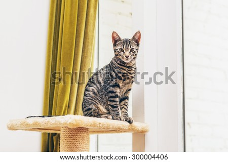 Young striped tabby cat sitting on a pedestal on top of its scratching post indoors in front of a window staring intently at the camera, copyspace and golden drape background