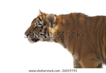 young striped tiger cub