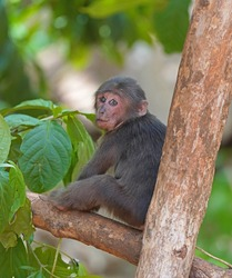 Young stump-tailed macaque feeding in a tree