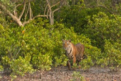 Young sub adult Bengal tiger stands outside the bushes and stares at the surrounding in the late afternoon light at Sundarban Tiger Reserve, West Bengal, India