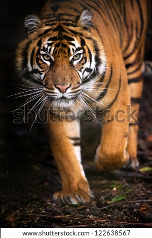 young sumatran tiger walking out of shadow/Tiger
