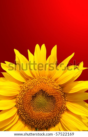 Young sunflower head. Close-up view