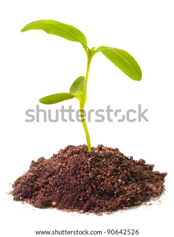 Young sunflower seedling growing in a soil.