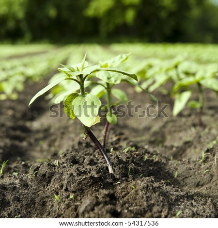 Young sunflower sprout in a field
