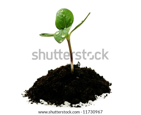 young sunflower sprout in the soil with droplets isolated over white