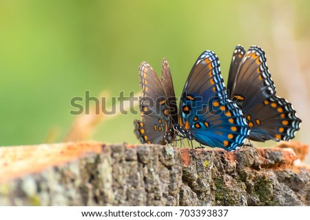 Young Swallowtail butterflies #703393837
