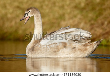 Young swan in warm light
