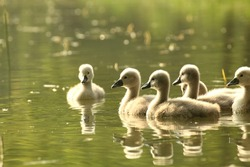 Young swans in a forest pond at dusk.
