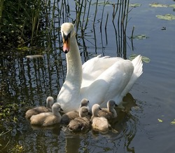 Young swans  with mother in spring