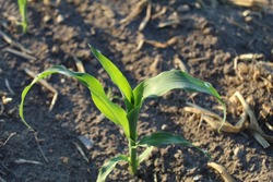 Young sweet corn plant in Michigan field