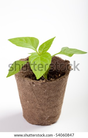 Young sweet pepper seedlings in a pot of peat on a neutral background