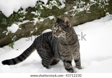 young tabby cat in winter with a lot of snow