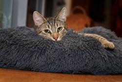 young tabby cat lies on a thick pillow, in whose gray plush he has sunk almost completely - only the head and one paw are still visible