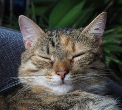 Young tabby cat sleeping in an armchair, close up, catnap.