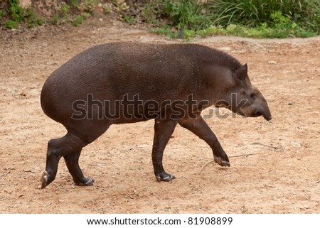 Young tapir walking in the zoo