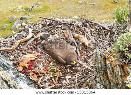 Young tawny eagle (Aquila rapax) in the nest