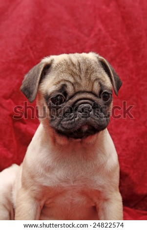 Young ten weeks old pug. Foto stock ©
