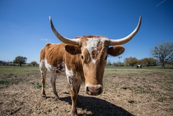 Young Texas Longhorn Cow with white and brown markings (left 3/4 front view)