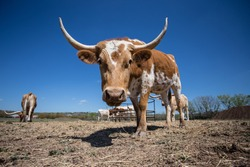 Young Texas Longhorn Cow with white and brown markings (right 3/4 front view)