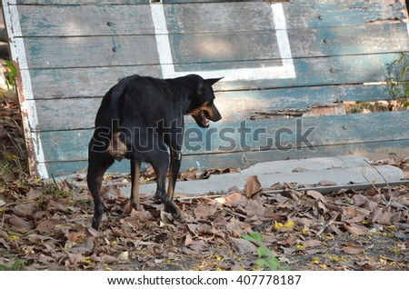 Young Thai dog Retriever in urine.junior puppy makes toilet outside in the park.  Stockfoto ©