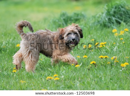 Young Tibetan terrier puppy standing in a meadow - stock photo