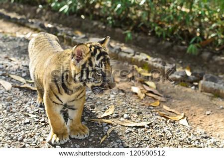 Young Tiger Walking