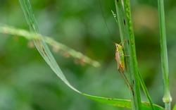 Young tiny grasshopper hiding in the green foliage. closeup macro